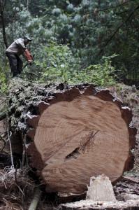 Aprovechamiento forestal en Agua Bendita, Amanalco. (Foto: Eugenio Fernández Vázquez)